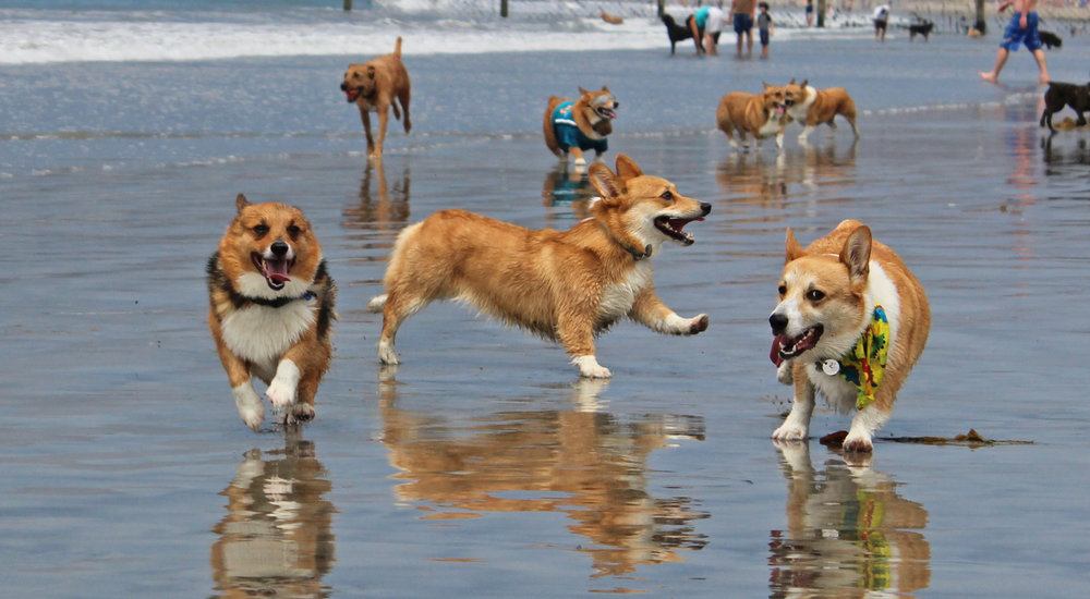 corgies.jpeg