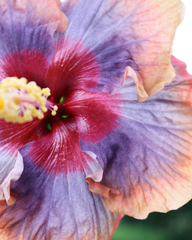 When all you want to do is kiss this beautiful life, one layer at a time 🌈💋 . . . #livingyourbestlife #beautifulworld #hibiscus #flowers #hana #maui #hawaii #farmlife