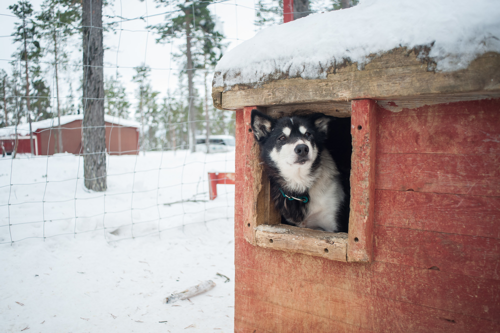 Husky-dog-in-the-window-lpl.jpg