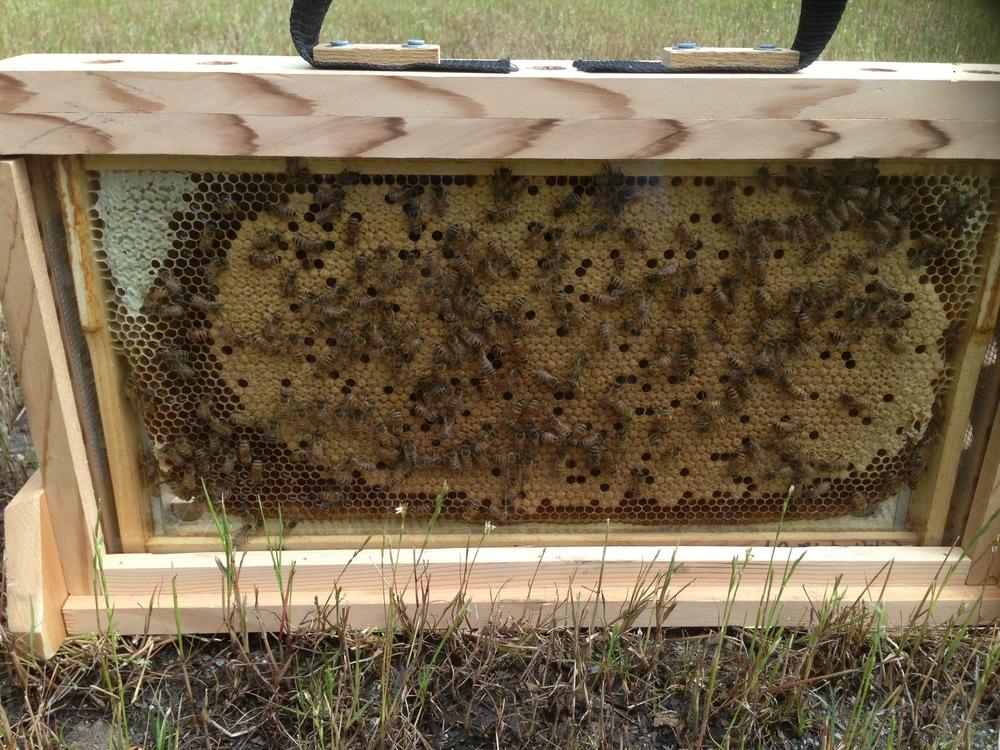 Single Frame observation hives