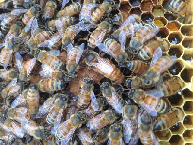 "Join us tomorrow @brooklyngrange for our #beekeeping workshop, ""Assessing your Bee Colony: Mid Season Hive Inspections"" with @timcernigliajr  There's a ticket link in our profile #queen #workerbee #drone #honey #pollen #propolis #wax #royaljelly #beevenom"