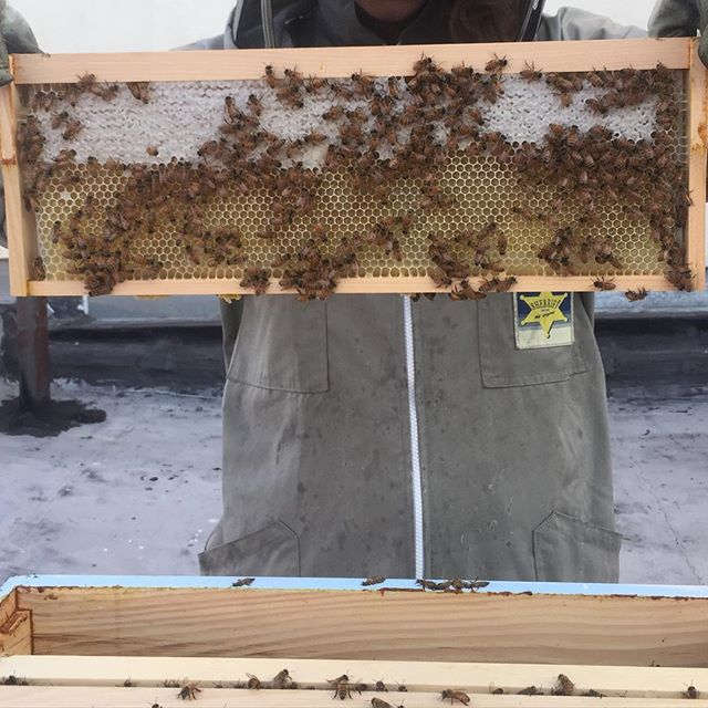 Half #honey half #nectar  Nectar has a moisture content of about 80% - #workerbees fan their wings to dehydrate the nectar to about 18% when it is then considered honey. This #hapbee #brooklynbeekeeper #urbanbeekeeper is expecting her first #honeyharvest this year on a first year #beecolony and #hive #harvest #nyc #colony #rooftopapiary #rooftopbees #bravo