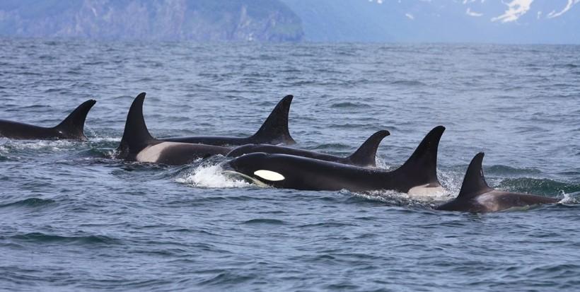 Orca in the Salish Sea