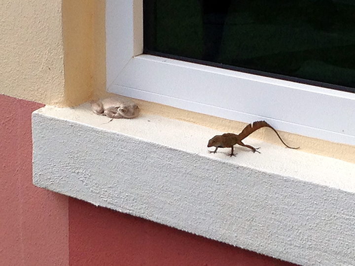This frog and lizard have been fast friends, hanging out on the windowsill next to our office's front door all summer.  Odd that we haven't given them names yet.