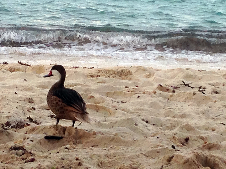Beach duck thinking about money.