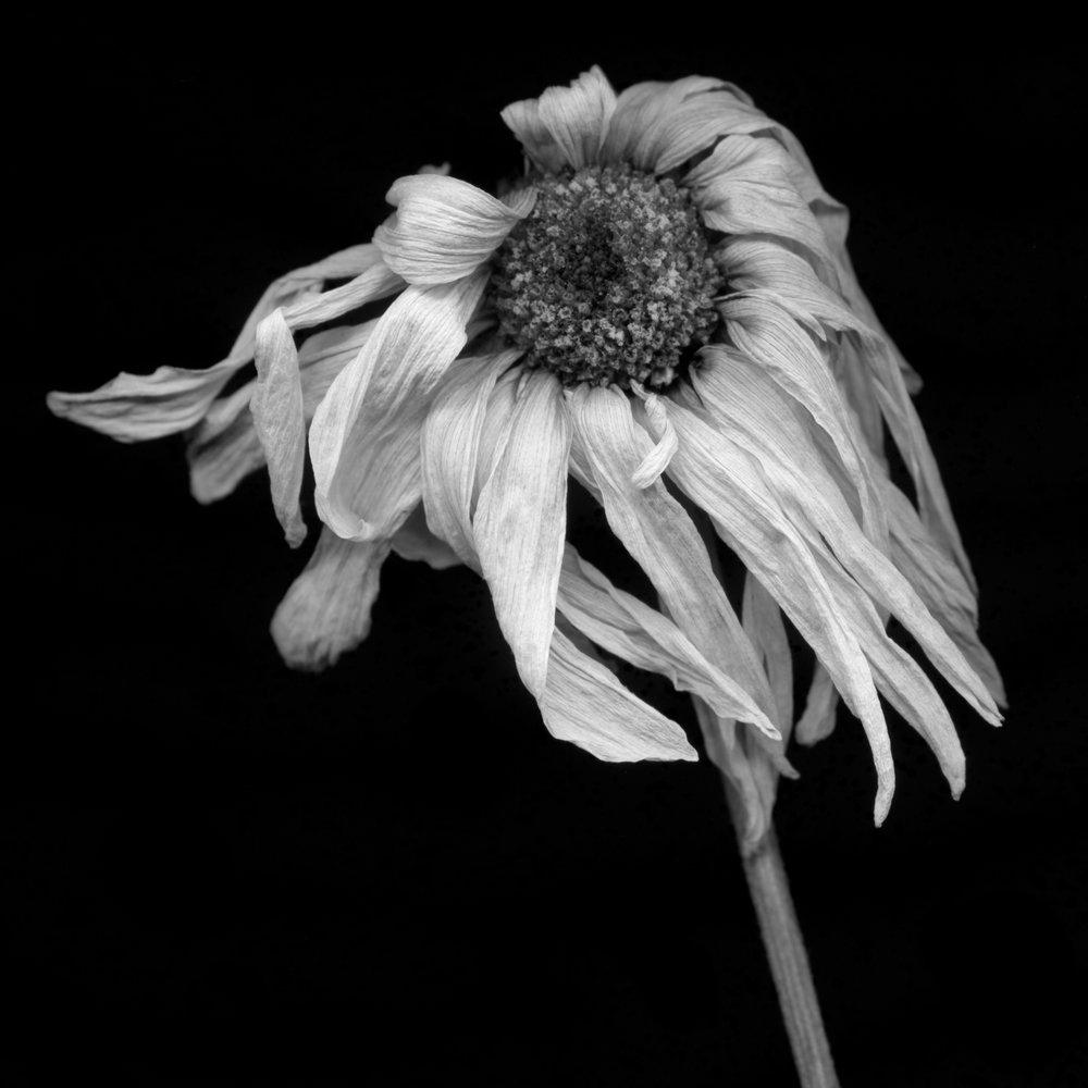 Daisy 2.jpg