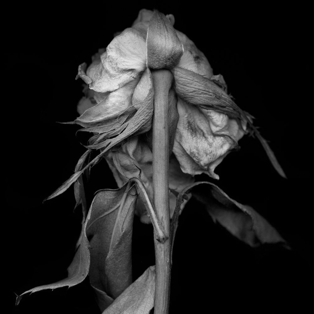 Rose 2.jpg