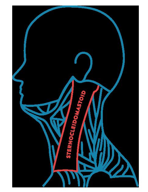 sternocleidomastoid diagram