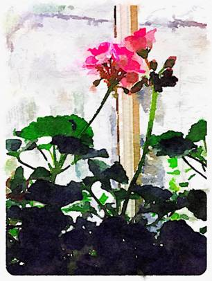 Geraniums in the sanctuary.  Image by Eileen Honey.