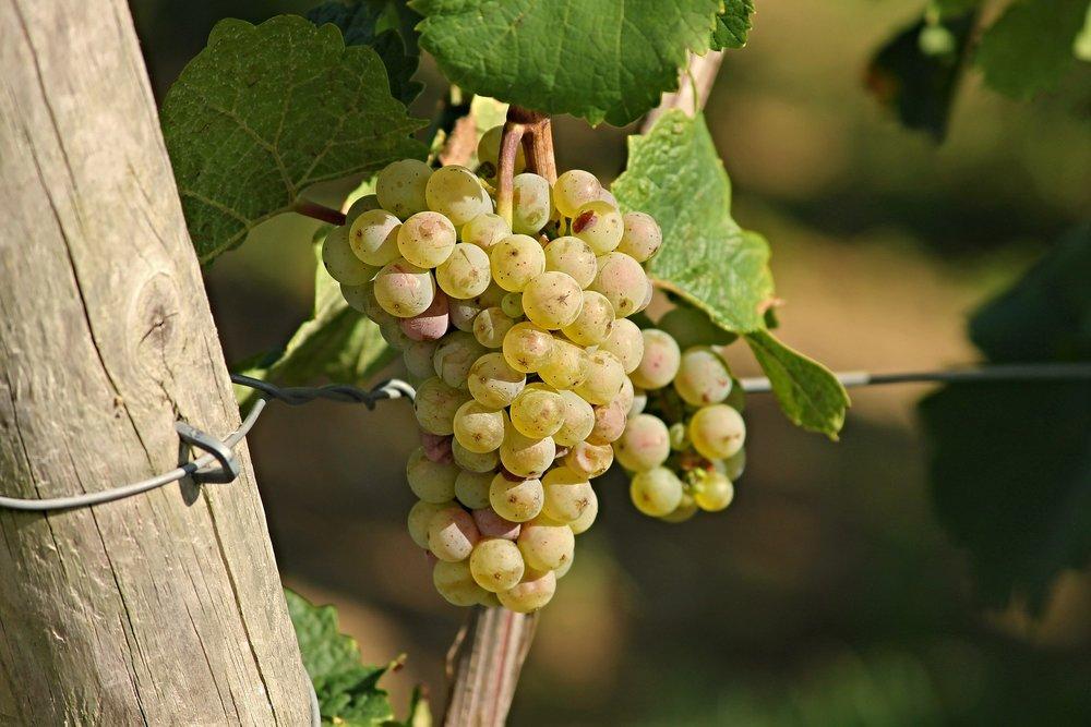grape-2763256_1920.jpg