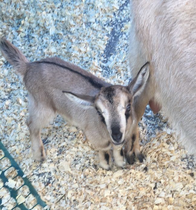 Awww!! How cute is this little guy?! Did you guys know I used to have a miniature goat named Sam? True story. He was the best.