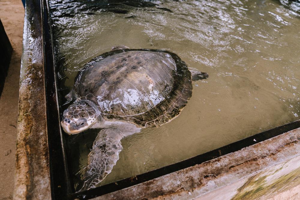 Riabilitazione per tartarughe - Mirissa