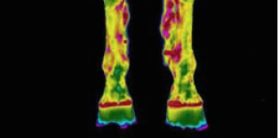 Thermal imaging - Veterinary