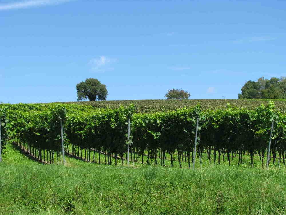 """Deutschlands höchstgelegenes Weingut """" Vollmayer """"Wein von ausgezeichneter Qualität.Mit Weinverkauf auch Flaschenweise."""