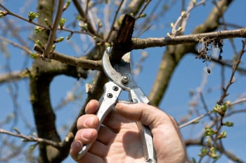 When-to-Prune-Cherry-Tree-e1440007794501.jpg