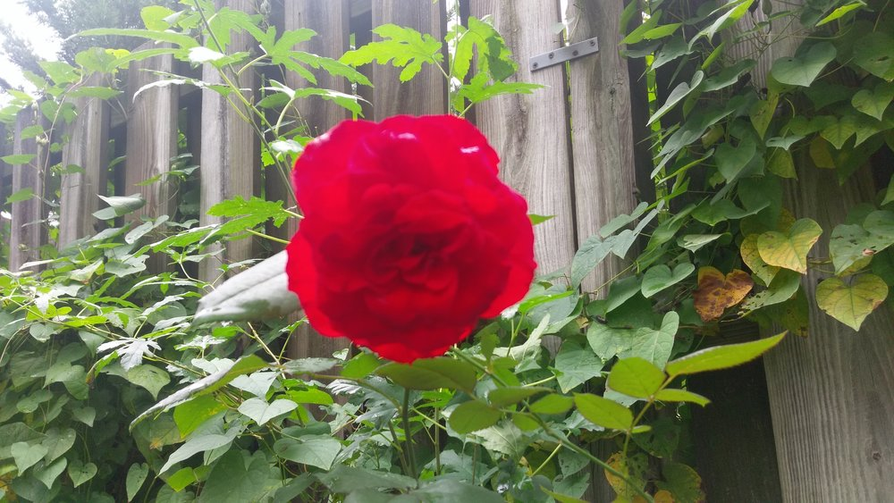 Random flower picture from the neighboorhood
