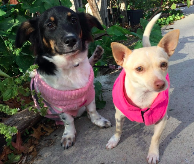 One of our awesome Park Slope dog walkers took this picture of Chloe and Zuzu