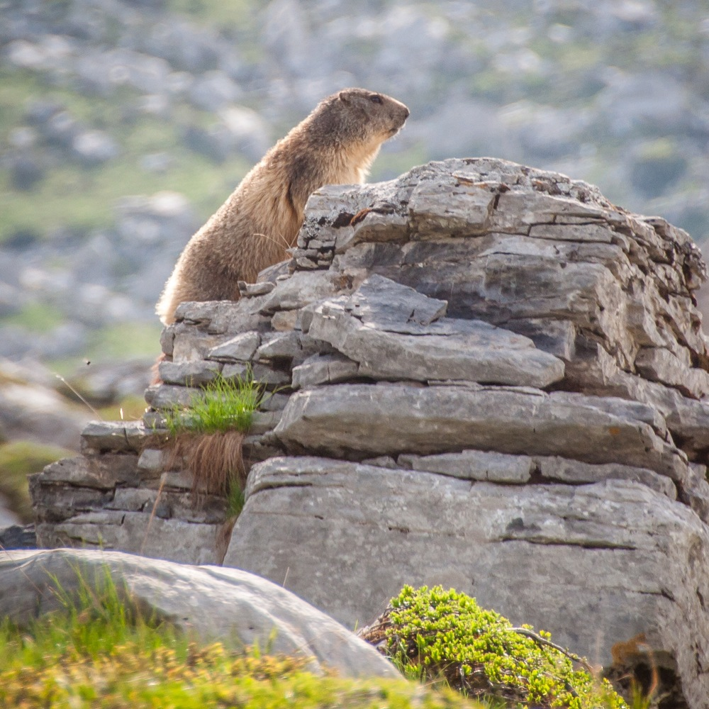 Wildlife: A marmotte checks the mountain air is still fresh