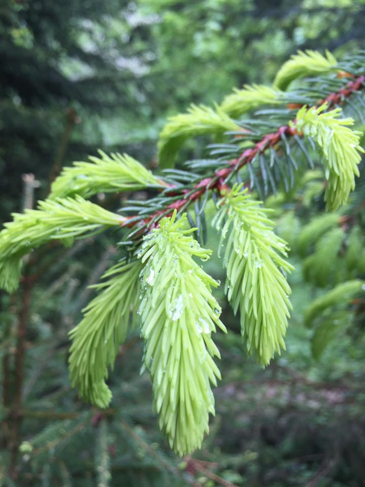 New growth on the conifer trees