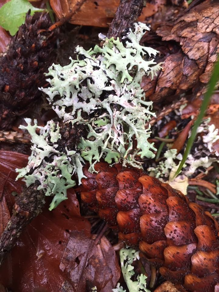 Loving the colours of lichens on fir cones