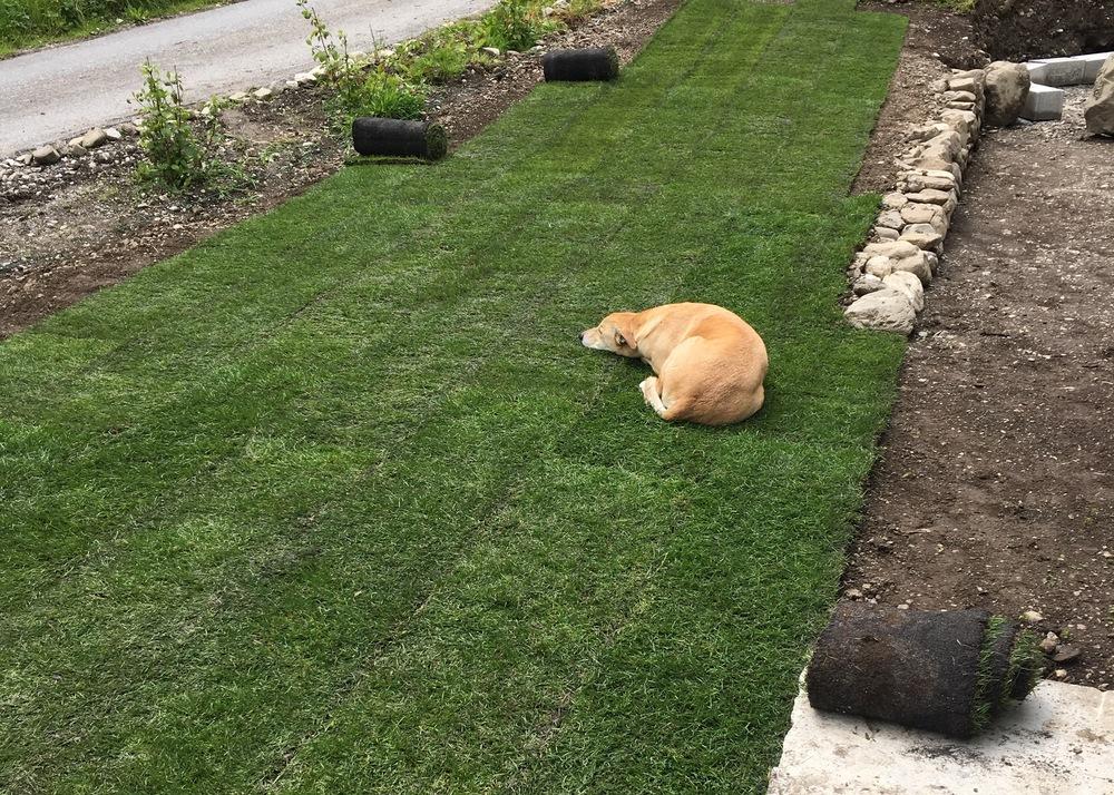 le chien aime la pelouse
