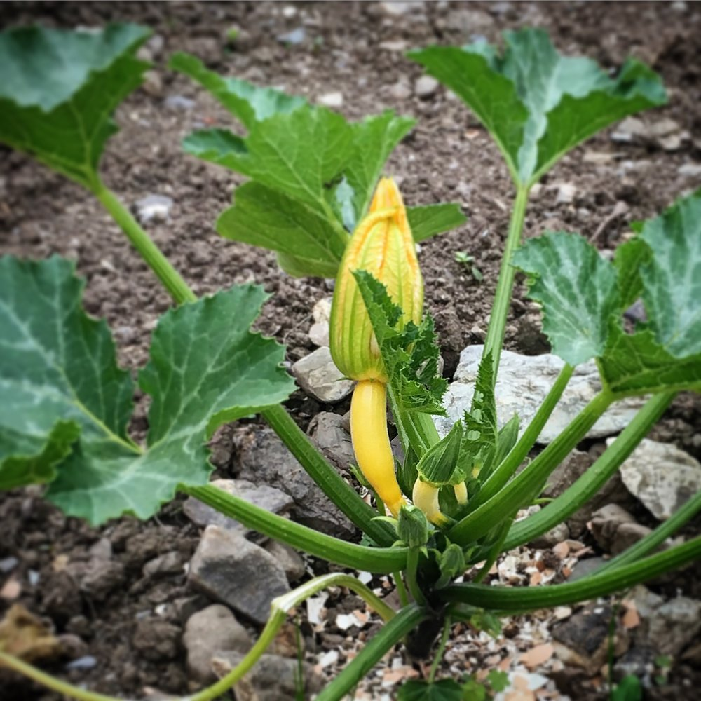 The triffid-like yellow courgette