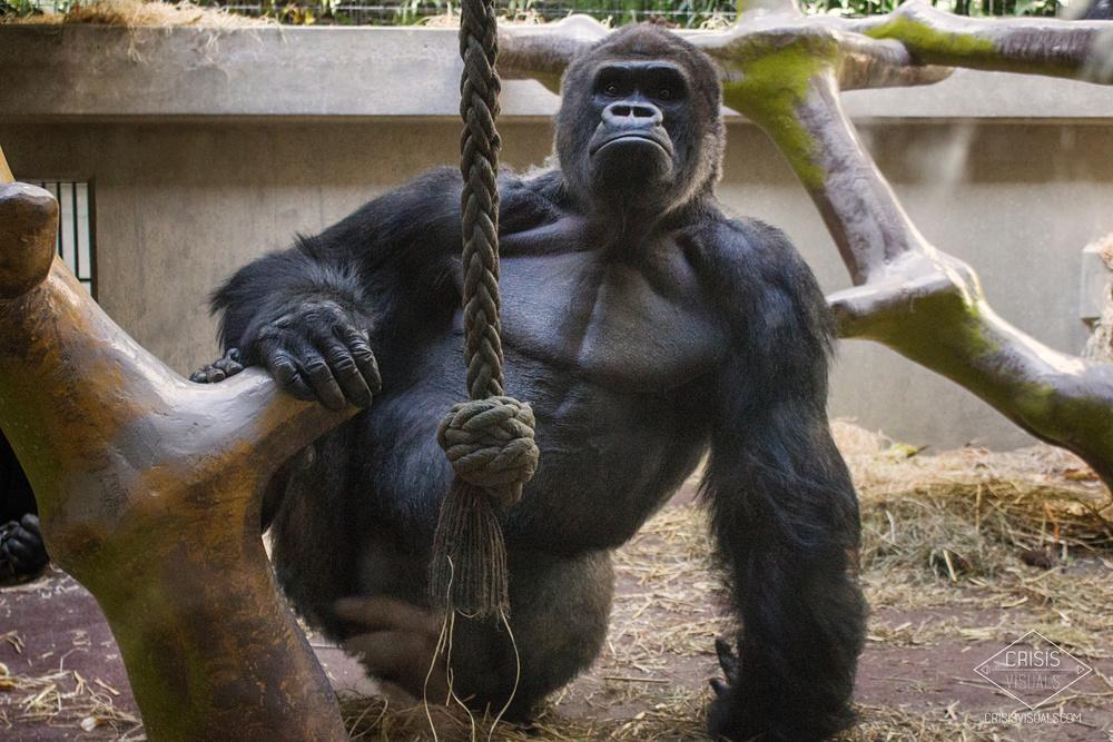 Proud Gorilla
