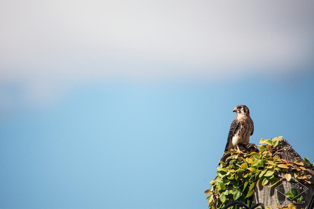 Tigligli Falcon