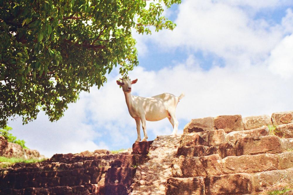 Wandering Goat