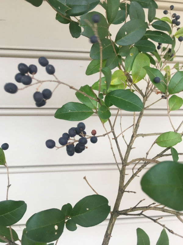 Privet berries.jpg
