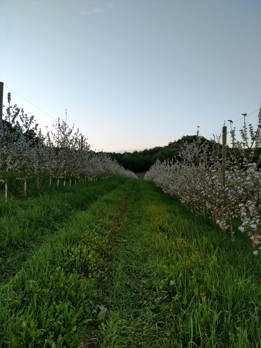 Sacia_Orchards_Gallery_Wisconsin_Orchard_Bloom2.jpg