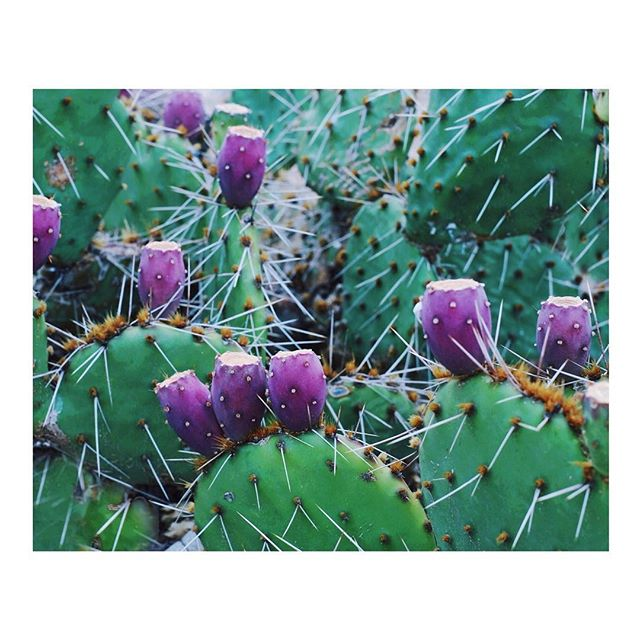 Wild cactus... all the flowers are now gone to seed. Almost September... my favorite season. . . . #newmexico #purenm #newmexicopure #vsco #dscollection #succulent #vsconature #dslooking  #finditliveit #nothingisordinary  #exploretocreate #highdesert #simplysantafe #shotoniPhone7 #imaginarymagnitude #cactus #latesummer  #mytinyatlas #cntraveler