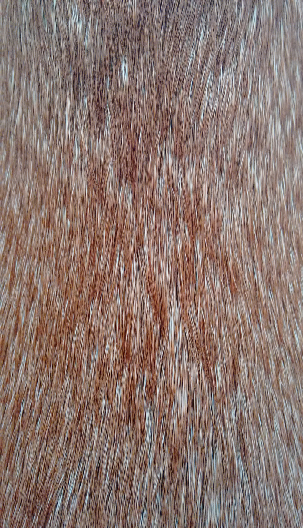 Haya's fur