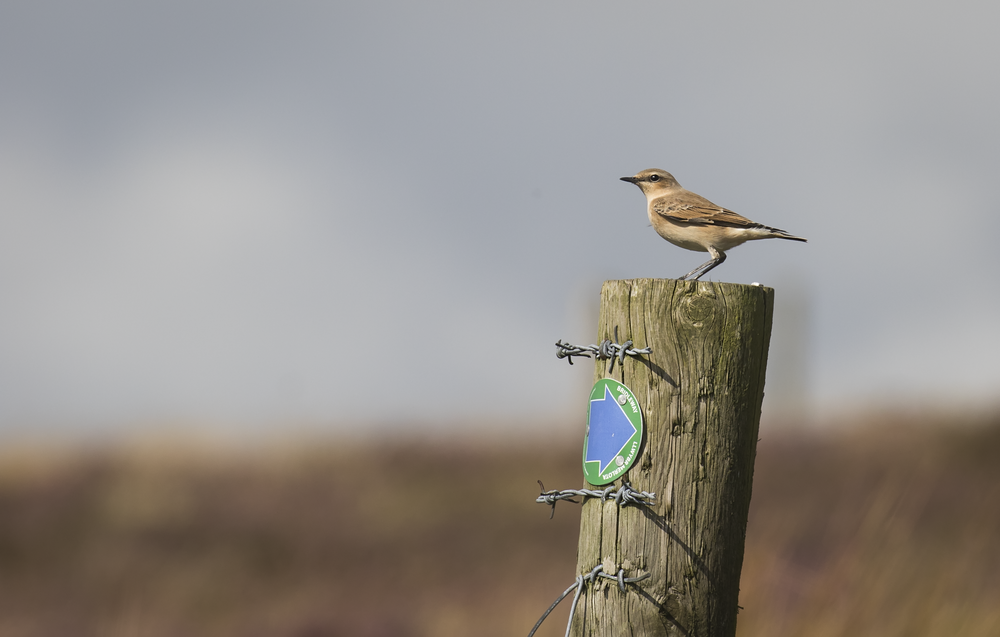 Wheatear Coity 4th September.png