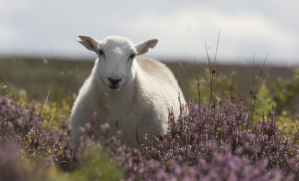 New Friend Sheepy 4th Sep.jpg