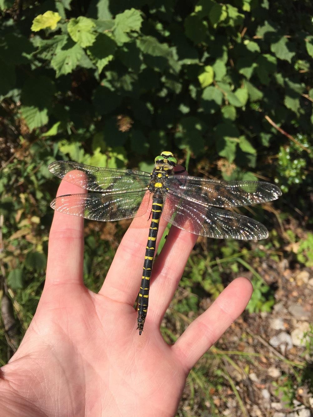 Golden-ringed Dragonfly / South Sebastopol