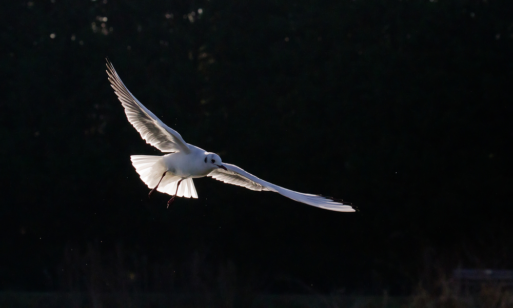 Blackheaded Gull 8th Feb.jpg