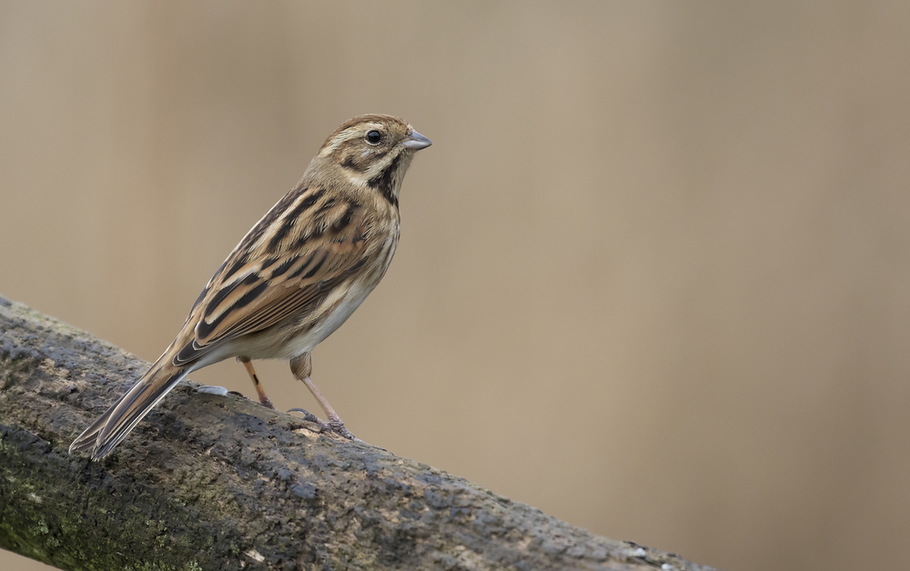 Female Reed Bunting 16th Feb.jpg