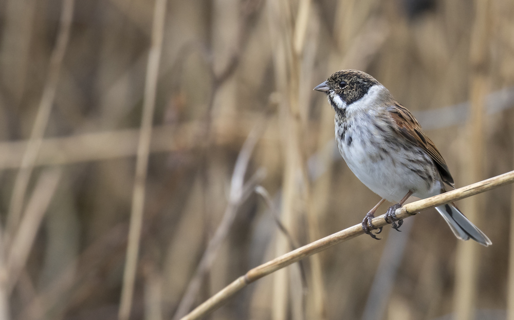 Male Reed Bunting 16th Feb.jpg
