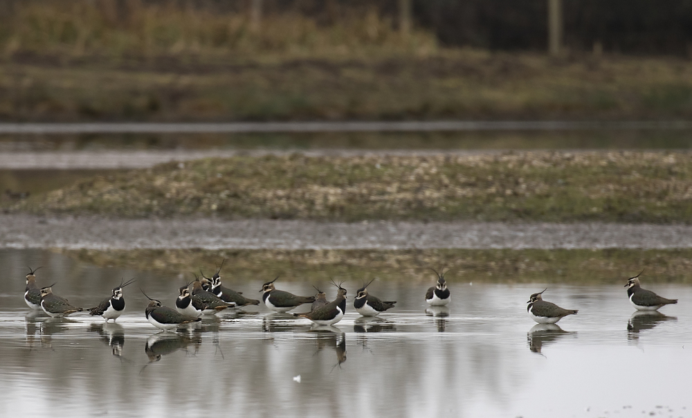 Lapwing 16th Feb.jpg