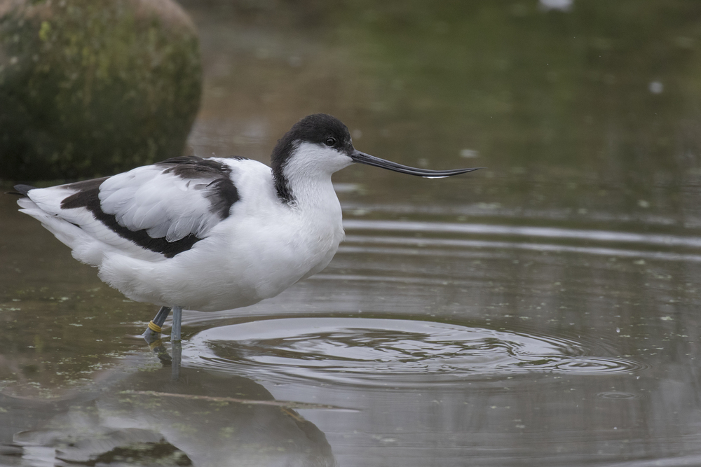 Avocet 16th Feb.jpg