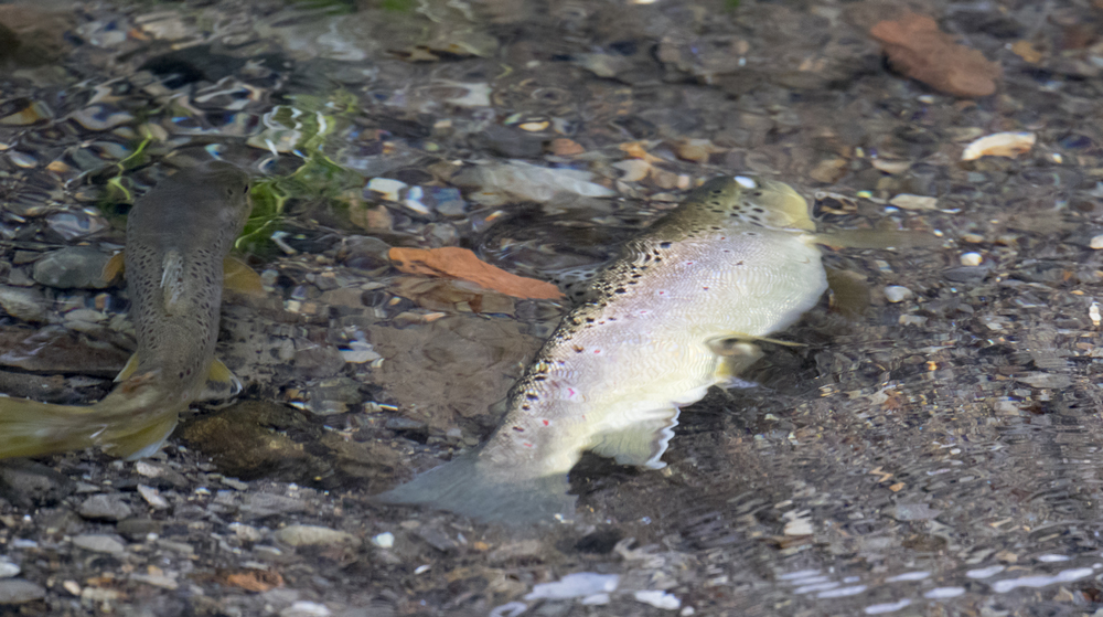 Spawning Brown Troat 15th Feb.jpg