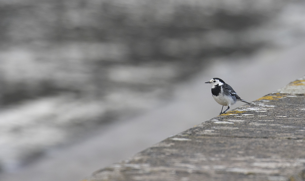 Pied Wagtail Cheddar Res 14th Feb.jpg