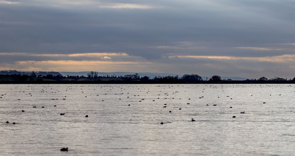 Cheddar Res Wildfowl 14th Feb.jpg
