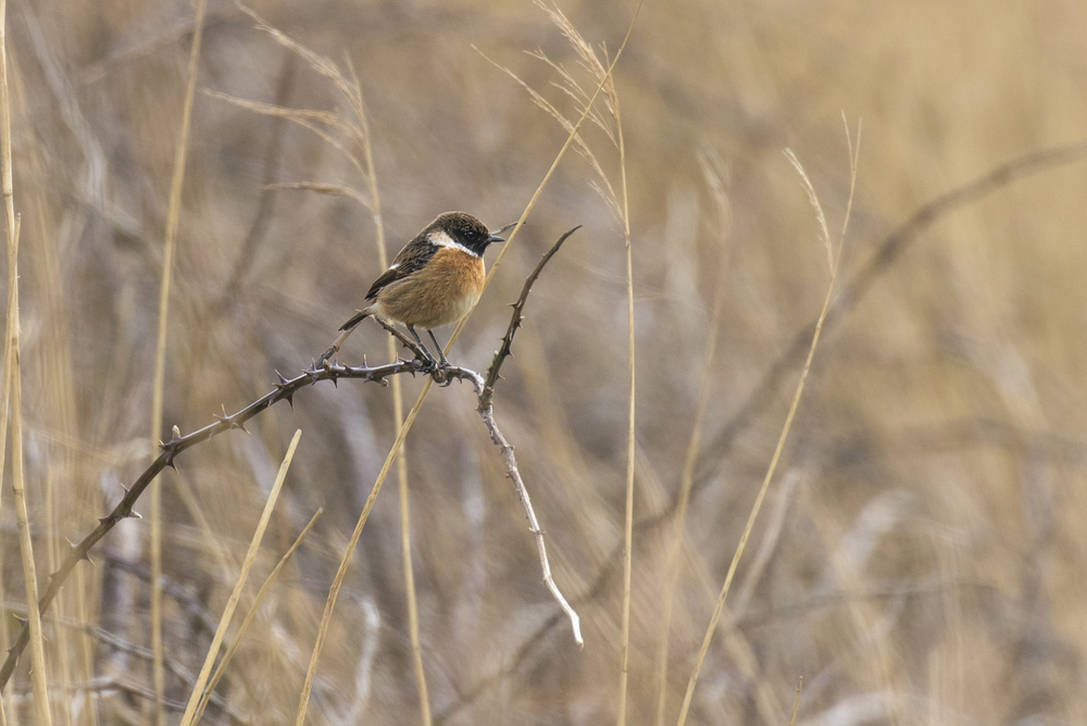 Male Stonechat 21st Feb.jpg