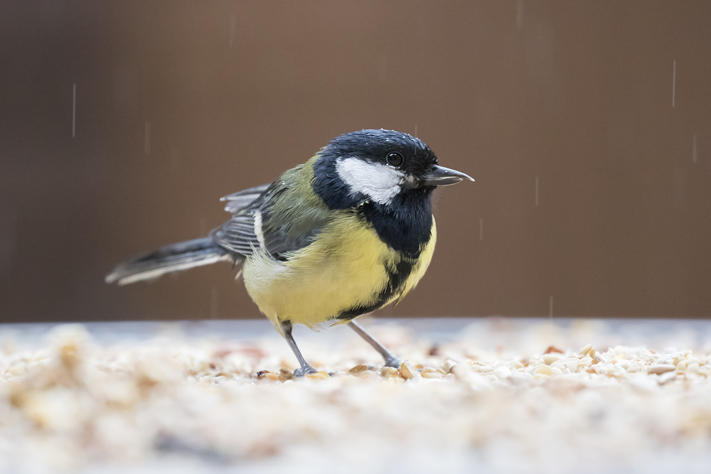 Great Tit with long Upper Mantle 22nd Feb.jpg