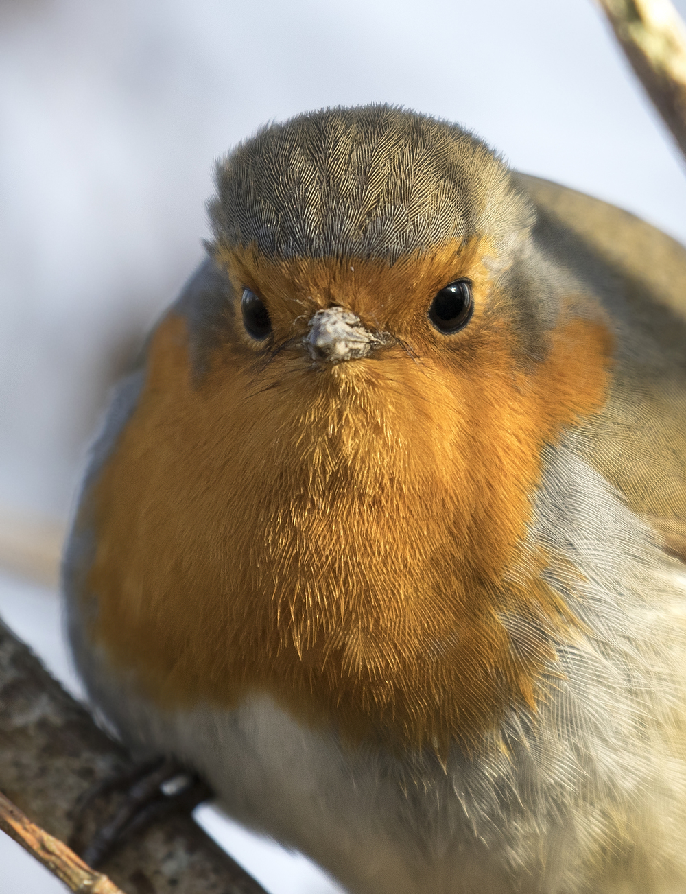 Robin Close Up 21st Feb.jpg
