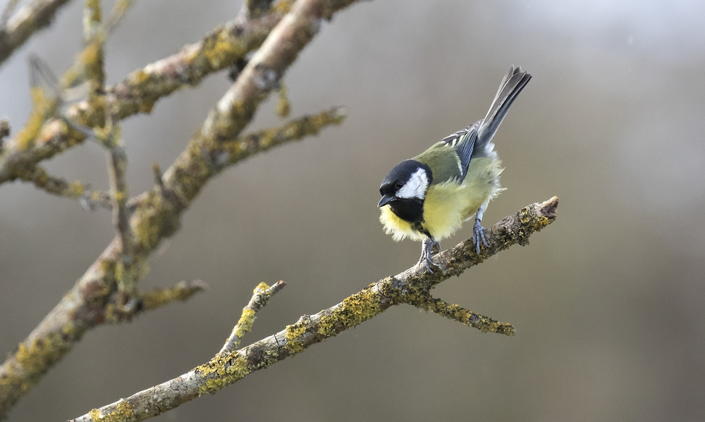 Great Tit Jump 21st Feb.jpg