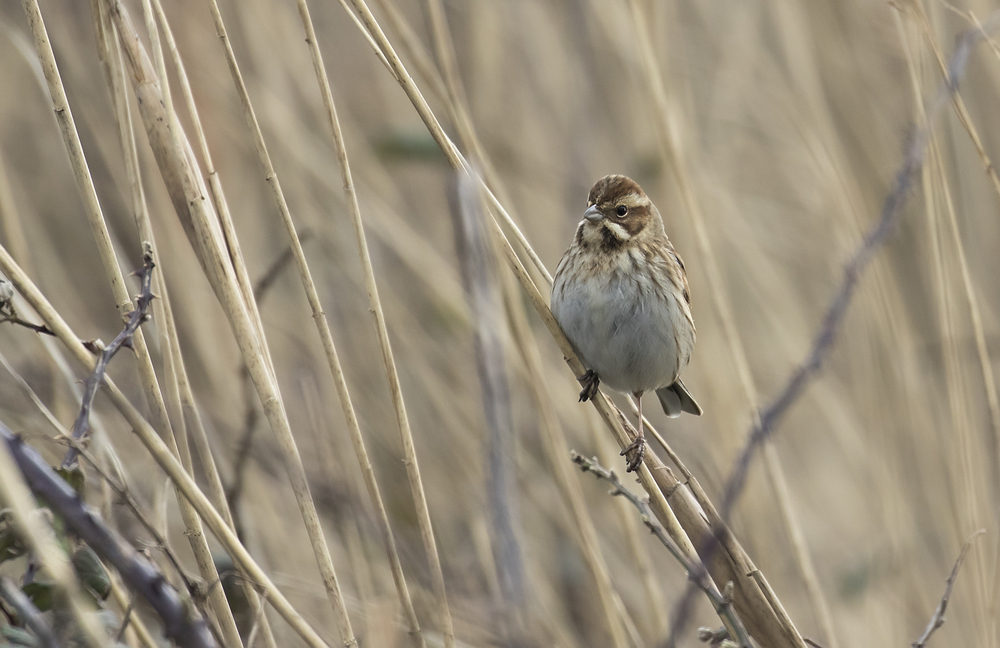 Female Reed Bunting 21st Feb.jpg