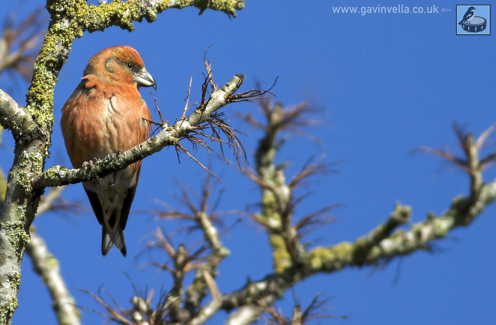 Crossbill Cropped Portate copy.jpg